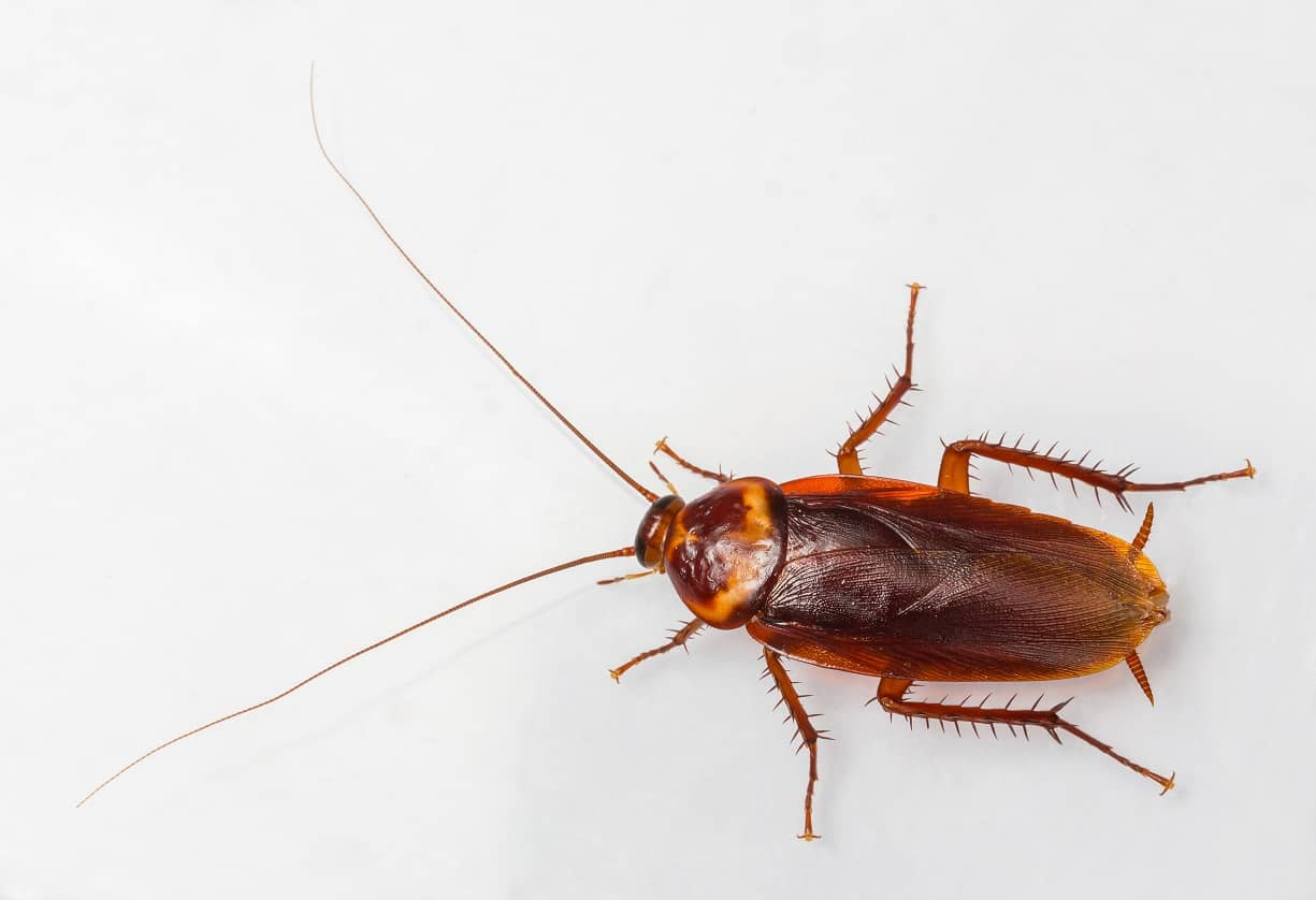 American cockroach. How to Get Rid of Roaches for Good  FAST   NATURALLY